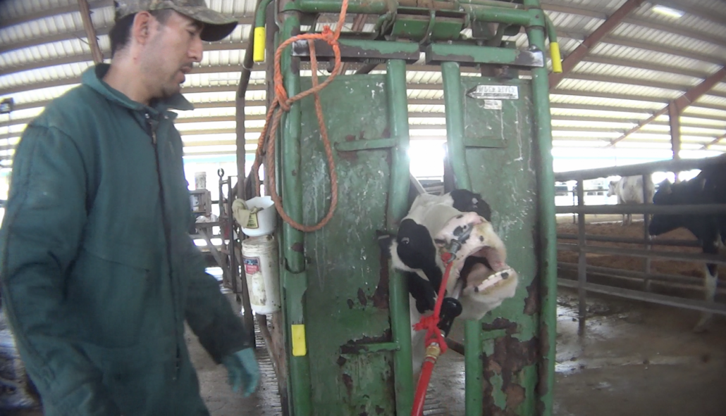 a cow being force fed by worker