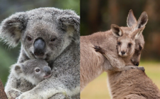 Does the World Care About the Other Crisis Killing Koalas & Kangaroos?