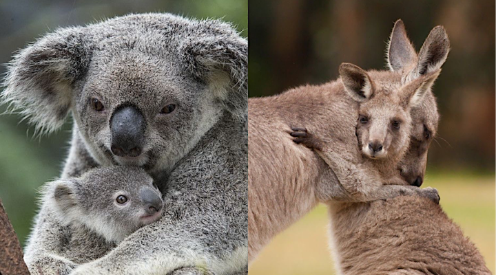 australia fires koalas