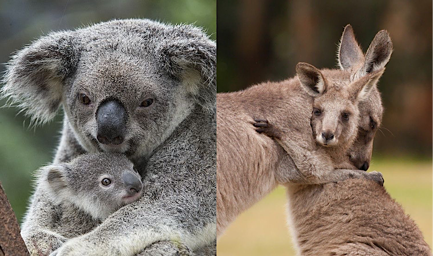 Does the World Care About the Other Crisis Killing Koalas and Kangaroos?