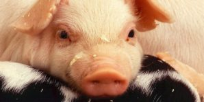 National Geographic: Stop Glamorizing the Slaughter of Piglets