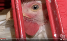 The Modern Chicken Industry: Humankind at its Worst
