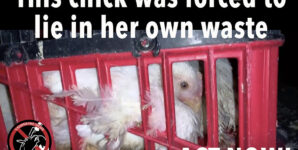 Help Stop the Cruel Treatment of Chicks Heading to Slaughter!